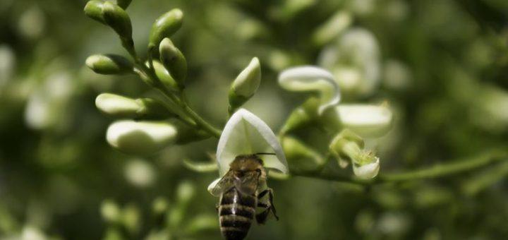 Honeybee on Styphnolobium japonica flower